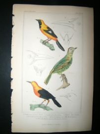Cuvier C1835 Antique Hand Col Bird Print. The Black Lcterus etc, 38